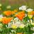 klaprozen · poppy · bloemen · oranje · Californië · voorjaar - stockfoto © lianem