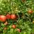 appel · plantage · zuiden · voedsel · natuur · landschap - stockfoto © lianem