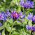 perennial cornflower or centaurea montana flower stock photo © lianem