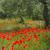 ケシ · オリーブの木 · 花 · ツリー · フィールド · 赤 - ストックフォト © lianem