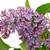 ライラック · 紫色 · 小枝 · マクロ · 極端な · クローズアップ - ストックフォト © lianem