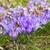 açafrão · flores · grama · paisagem · jardim - foto stock © lianem
