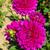 paars · dahlia · bloem · kiem · geïsoleerd - stockfoto © lianem
