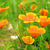 california poppy 29 stock photo © lianem
