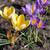 violeta · açafrão · primavera · flores · jardim - foto stock © lianem