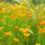 california poppy 28 stock photo © lianem