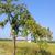 appel · plantage · rijp · vruchten · voedsel · natuur - stockfoto © lianem
