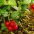 cowberry plant 15 stock photo © lianem
