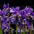 Iris · синий · зеленый · изолированный · белый · природы - Сток-фото © lianem