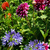 dahlia · bloem · tuin · oranje · plant · roze - stockfoto © lianem