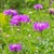 perennial cornflower or centaurea dealbata flower stock photo © lianem
