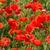 piros · kukorica · pipacs · részlet · full · frame · absztrakt - stock fotó © lianem