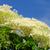 elder flower 20 stock photo © lianem