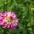 dahlia · bloem · natuur · blad · groene · Geel - stockfoto © lianem