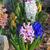 roxo · jacinto · flor · branco · primavera · jardinagem - foto stock © lianem