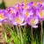 branco · açafrão · vários · natureza - foto stock © lianem