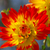dahlia flower in red and yellow stock photo © lianem