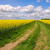 rape field with dirt road stock photo © lianem