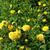 Geel · dahlia · witte · bloem - stockfoto © lianem