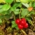 cowberry plant 14 stock photo © lianem