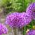 Frühlingszwiebeln · Blume · Zwiebel · andere · Blumen · Textur - stock foto © lianem