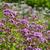 oregano a popular spice plant stock photo © lianem