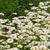 branco · margarida · primavera · abstrato · natureza · beleza - foto stock © lianem