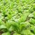 megművelt · dohány · levél · mező · növények · út - stock fotó © lianem