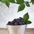 blackberries in small bucket stock photo © lightkeeper