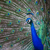 павлин · из · мелкий · цвета - Сток-фото © lightpoet