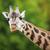 キリン · デルタ · ボツワナ · 草 · 動物 · ブラウン - ストックフォト © lightpoet