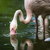 rózsaszín · flamingó · víz · trópusi · díszlet · magas - stock fotó © lightpoet