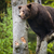 brown bear ursus arctos stock photo © lightpoet