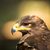 adelaar · vogel · buit · veer · hoofd · Geel - stockfoto © lightpoet