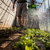 jeans · hortelã-pimenta · folhas · jardim · orgânico - foto stock © lightpoet
