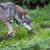 волка · Арктика · полярный · собака · глаза · лице - Сток-фото © lightpoet