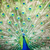 paon · queue · beauté · bleu · noir - photo stock © lightpoet