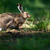 brown hare lepus europaeus stock photo © lightpoet