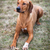 rhodesian ridgeback dog stock photo © lightpoet