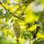 köteg · zöld · szőlő · szőlőtőke · helyes · aratás · arany - stock fotó © lightpoet