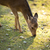 sika deer lat cervus nippon stock photo © lightpoet