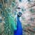 tavuskuşu · tüy · beyaz · göz · güzellik · yeşil - stok fotoğraf © lightpoet