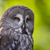 close up of a tawny owl strix aluco in woods stock photo © lightpoet