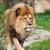 fiatal · oroszlán · harap · fül · természet · macska - stock fotó © lightpoet
