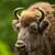 retrato · americano · bisão · típico · parque · EUA - foto stock © lightpoet