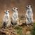 Watchful meerkats standing guard stock photo © lightpoet