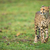 гепард · портрет · пустыне · ЮАР · лице - Сток-фото © lightpoet