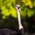 ostrich struthio camelus stock photo © lightpoet