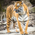indian tiger stock photo © lightpoet