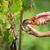 handen · vrouwelijke · oogst · witte · wijnstok · druiven - stockfoto © lightpoet